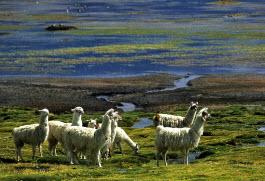 Lamas no Parque Lauca
